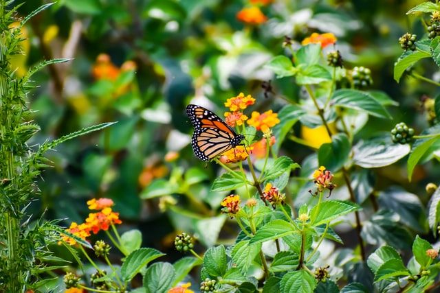 A Tribute To The Monarch Butterfly: How to Turn Your Backyard Into a Butterfly Friendly Habitat.